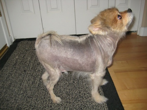pomeranian with no hair 10 pomeranian hair cut ideas 3952