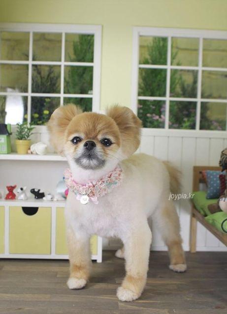 pomeranian hair cut