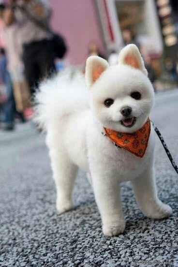 Prächtig 10 Pomeranian Hair Cut Ideas &SU_15