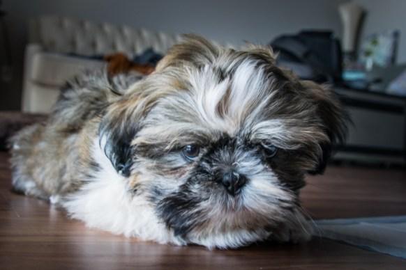 grumpy dog laying down
