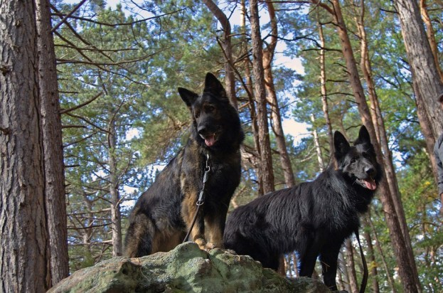 dogs in woods