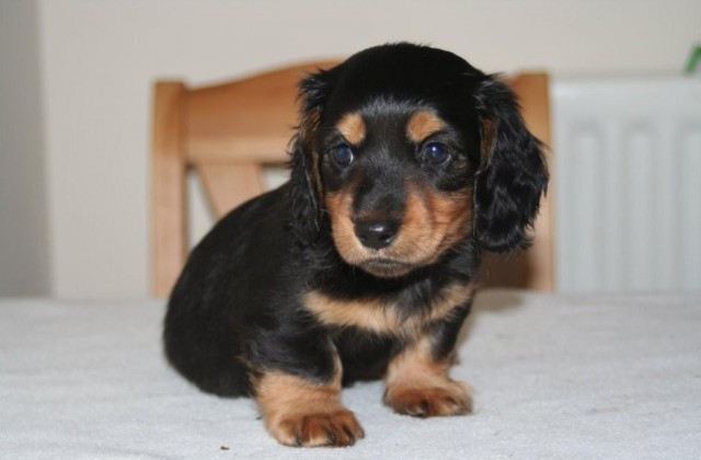 Black Dachshund Puppy