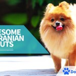 10 Awesome Pomeranian Hair Cut Ideas