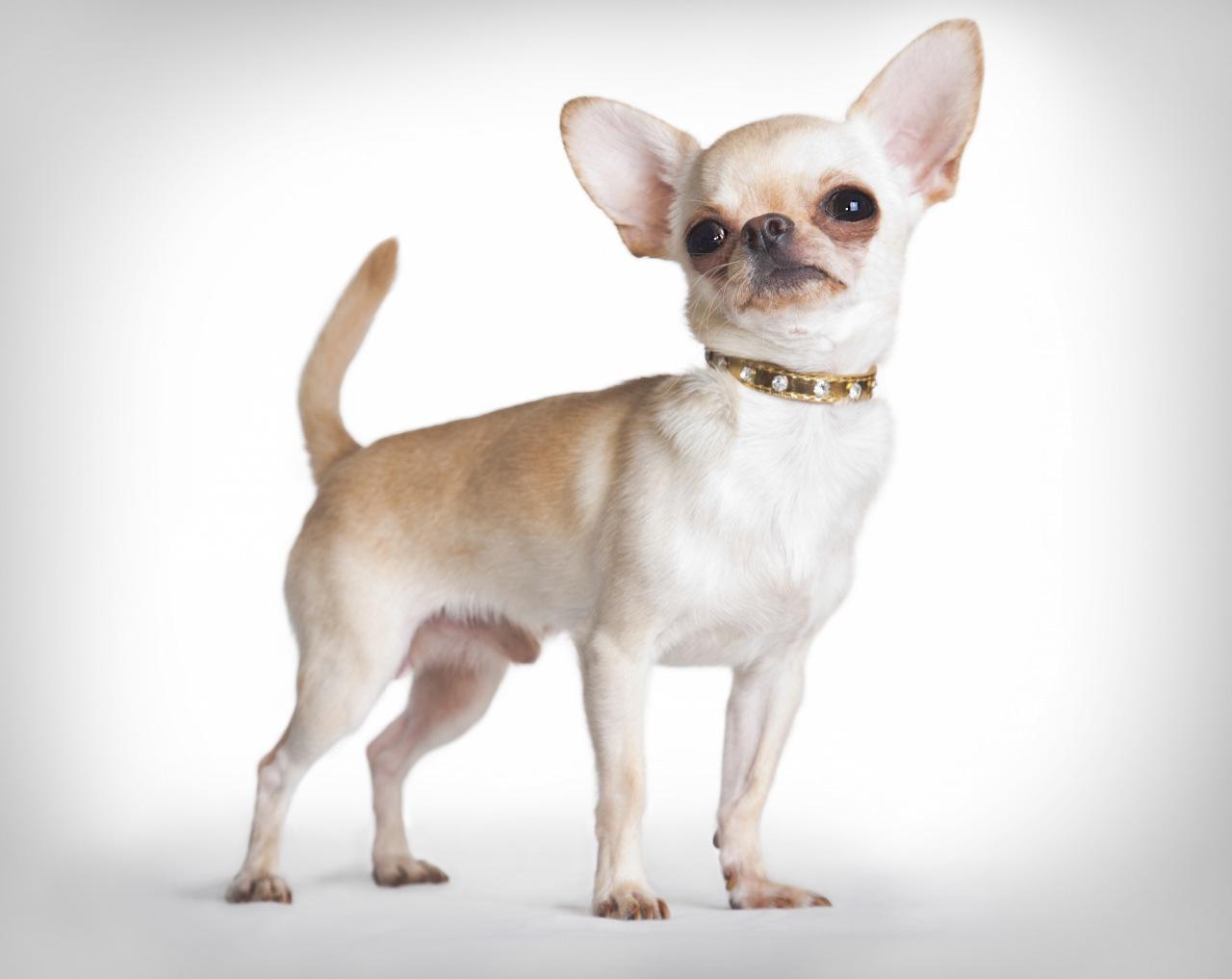 Chihuahua rasa standard: dimensiunea și greutatea pe lună - Alimente June