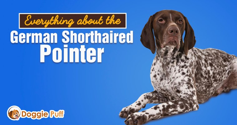 Everything about the German Shorthaired Pointer