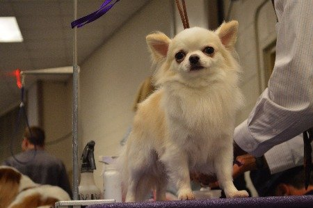 Image shows grooming a long haired Chihuahua
