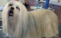 """A """"Dougal"""" dog - Old English Sheepdog image."""