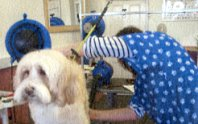 Alison dog grooming in the Dougals dog grooming parlour