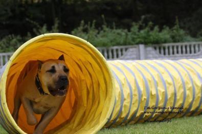 agility-dogo-canario