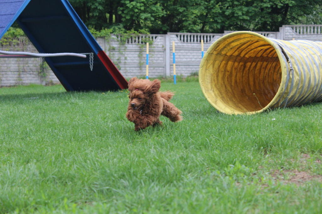 agility-toy-pudel