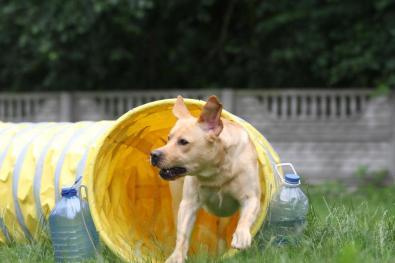 agility-tunel-labrador