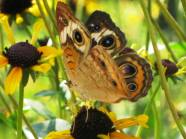 Eyespots on Buckeye Butterfly