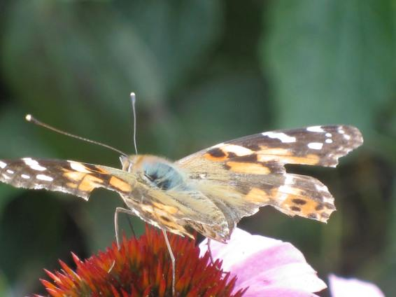 Painted Lady with a few marks of a butterflies life