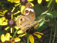 Buckeye Butterfly eye-spots