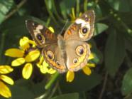 Buckeye Butterfly open wings