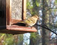 winter birds ~ the finches