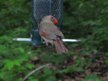 Young Cardinal trying out some Sunflower seeds at feeder