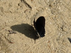 winged shadow