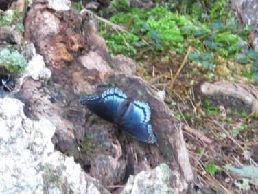 Butterfly Beautiful in the Blueridge Mountains