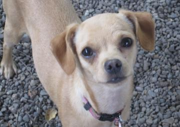 Mia-Chihuahua.jpg