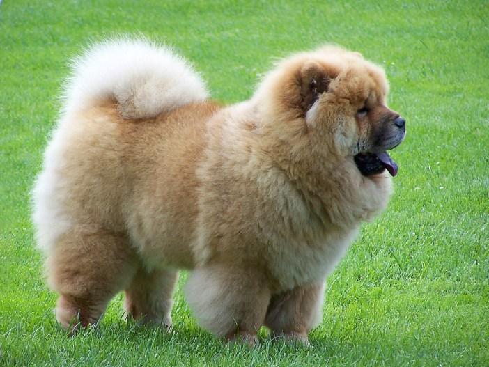 ChowChow - dangerous dog breeds