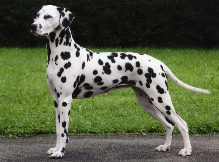 Dalmatian - dangerous dog breeds