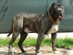 Persa Canario - top 10 dangerous dogs