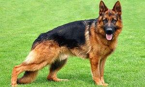 german-shepherd - top 10 dangerous dogs