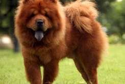 Chow Chow Dog Photos