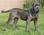 Mastiff Dog Photos:Neapolitan mastiff
