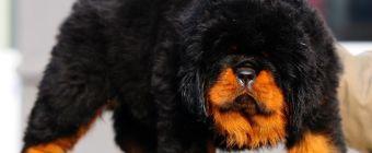 Tibetan Mastiff Dog Photos