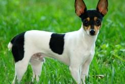 Toy Fox Terrier Dog Information & Photos