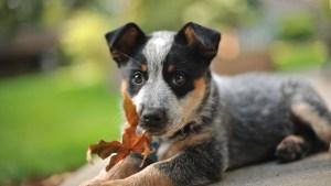 Australian Cattlte Dog Puppy HD Photo