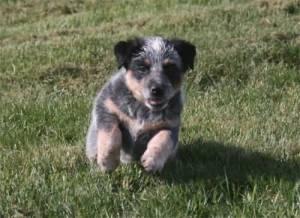 Australian Cattlte Dog Puppy on Dog Training