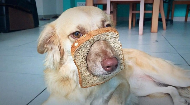 Dogs Eating Bread – Benefits and Effects of Feeding Bread ...