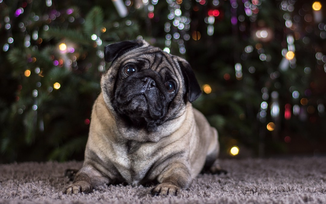 Pug: Dog Breed Information, Facts and Pictures