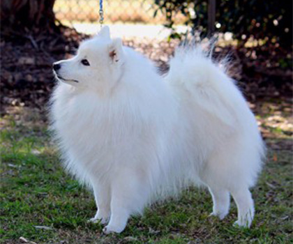 Japanese Spitz Dog Lovers Directory