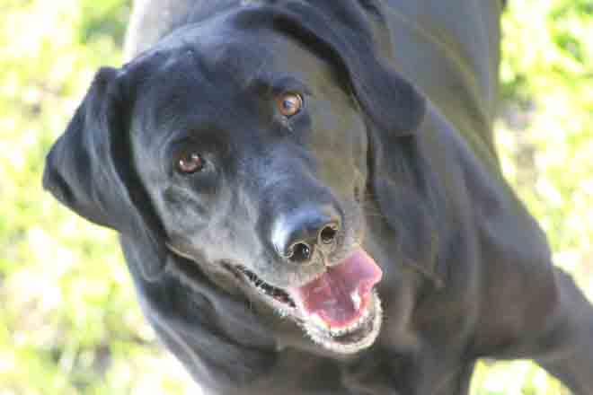 Black Labrador Lab Gifts Merchandise Items Decor Collectibles
