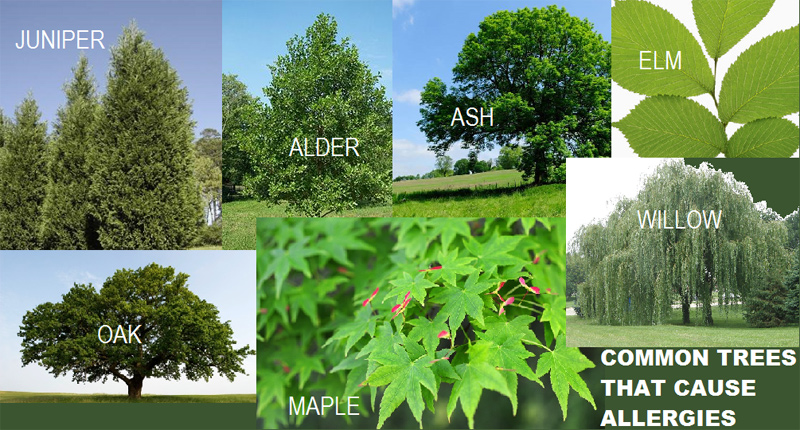 Image Result For Willow Tree Allergy Symptoms