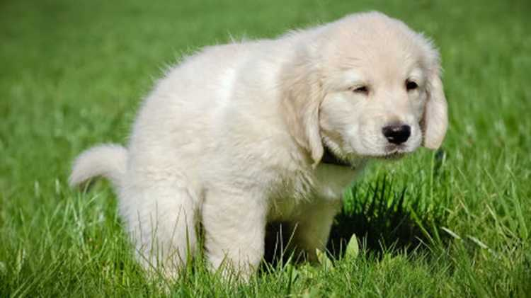 Little lab puppy going potting in green grass before getting their pretty dog sleep.