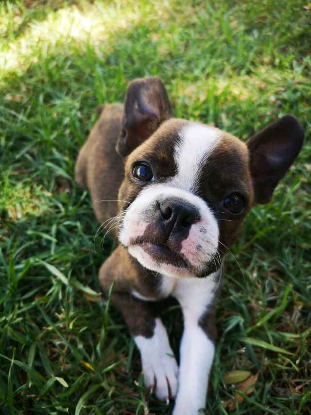 photo of brown and white boston terrier puppy sitting on grass