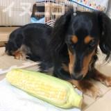 【保存版】犬がとうもろこしを食べても大丈夫です【芯と生はNG】