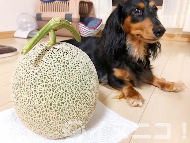 【保存版】犬はメロンを食べても大丈夫【皮と種はNG、量に注意です】