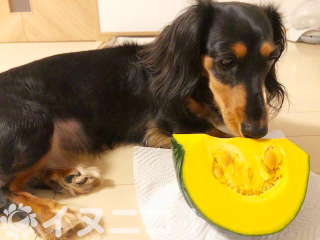 【保存版】犬がかぼちゃを食べても大丈夫【皮、種、ワタOK、生はNG】