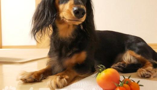 【保存版】犬はトマトを食べても大丈夫です【生でもOK、皮も種もOK】