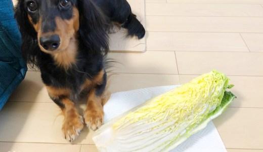 【保存版】犬は白菜を食べても大丈夫【生でもOK、芯も栄養満点】