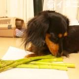 【保存版】犬はアスパラガスを食べても大丈夫です【生はNGです】