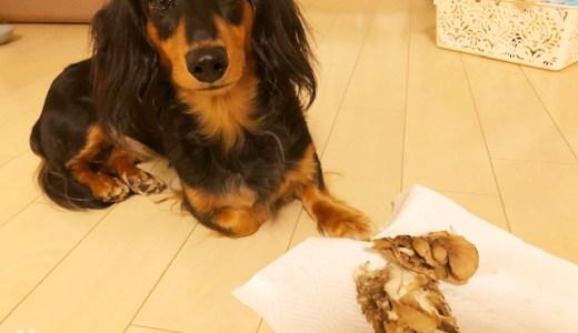 【保存版】犬はマイタケを食べても大丈夫。栄養豊富です【生はNG】