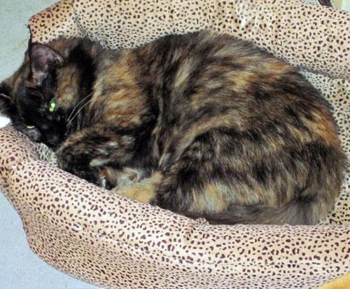 pet dog sofa company white city leonessa - tortoiseshell | humane society of dallas county