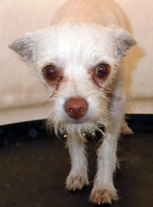 Itzme Chihuahua Humane Society Of Dallas County